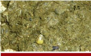 Manure with visible grain and/or large forage particles