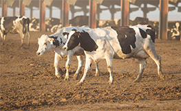 photo of dairy cows with claw disorders