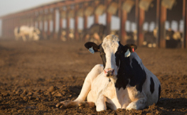 heat stress in dairy cattle