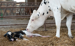 Late gestation heat stress in dairy cows: Effects on dam and daughter