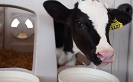 Effects of Dietary Forage and Calf Starter Diet on Ruminal pH and Bacteria in Holstein Calves during Weaning Transition